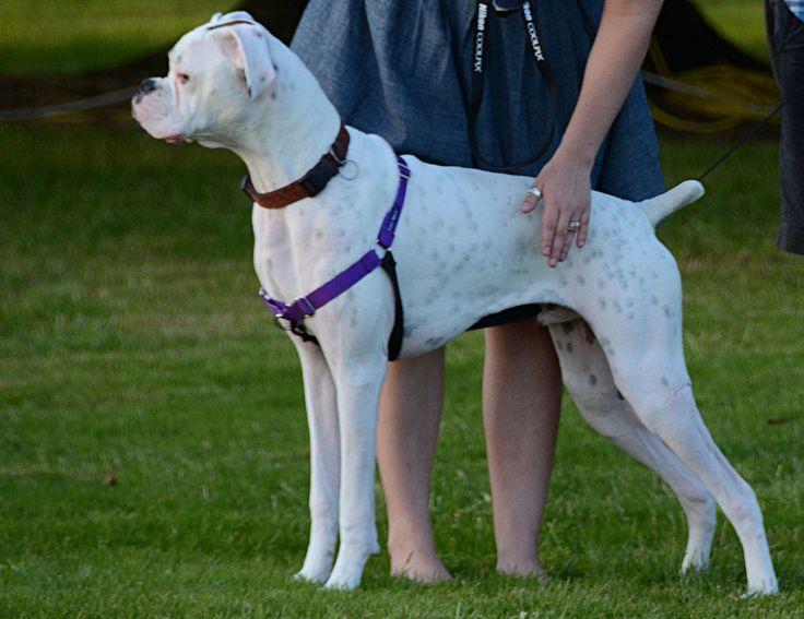 Resultado de imagen para white boxer dog park