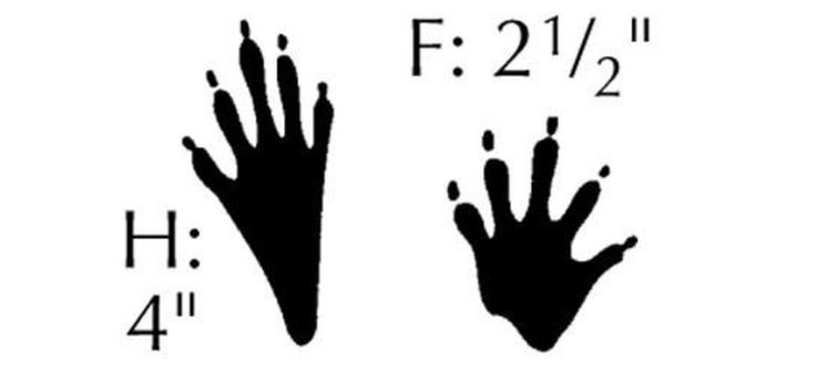 Image result for raccoon paw print clip art