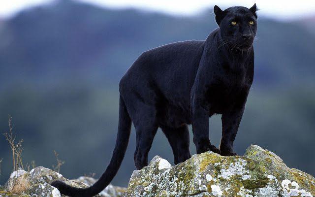 black panther (Panthera pardus) | MACAN TUTUL HITAM/KUMBANG (black panthera pardus melas)