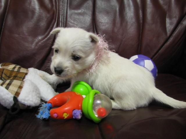 Nancy's Westies - Patte's Litter of Westie Puppies for Sale