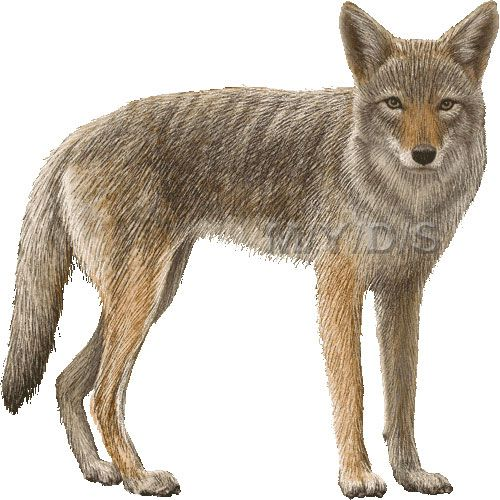 Coyote Clipart Picture Large Clip Art Animals