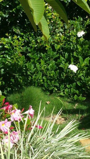 Zoysia grass gardenia Florida dipladenia