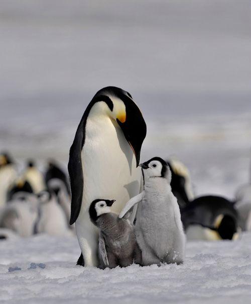 Emperor penguin by *laogephoto