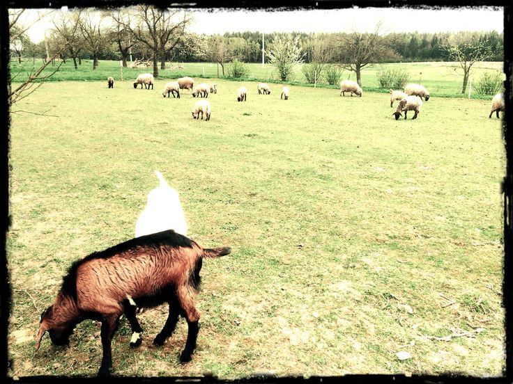 A dostavily se i kámošky od vedlejška.. kozy a ovce :)