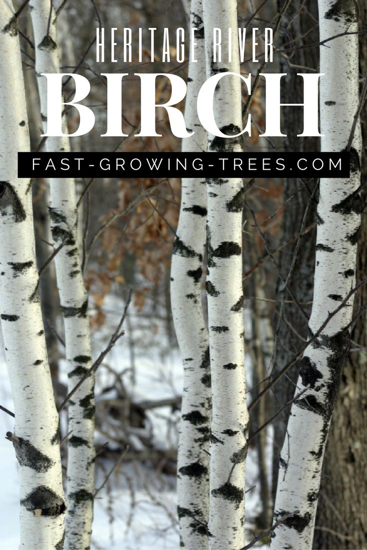 You will love the unique colors of the delicate bark that the Heritage River Birch adds to your yard. The natural peeling effect exposes flakes of salmon or cinnamon under the top light taupe outer skin.