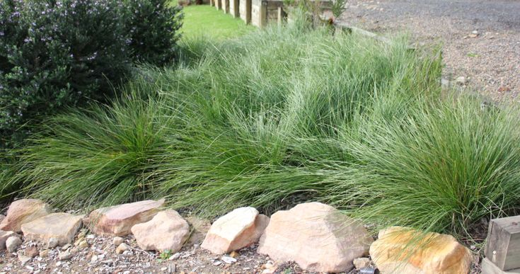 http://ozbreed.com.au/strappy-leaf-plants/shara.html Shara™ Lomandra is a tough compact plant that has fine leaves, blue grey tones and its masses of yellow flowers sit above the foliage.   http://lawnclub.com.au/blog/3/entry-28-shara™-lomandra-is-a-tough-compact-plant-with-fine-leaves-and-masses-of-yellow-flowers/