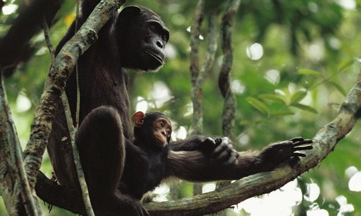 Mom Chimps Teach TheirBabies to Use Tools to Eat. A team of anthropologists have documented the first evidence of mother chimpanzees teaching their young to use tools to eat in the jungles of the Republic of Congo, as caught on video...