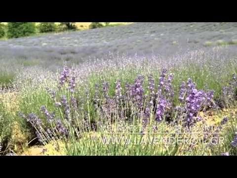 Ιούνιος 2015: Ξεκίνησε η ανθοφορία και ήρθαν οι μέλισσες (φωτογραφίες, βίντεο) | Lavender Oil in Greece