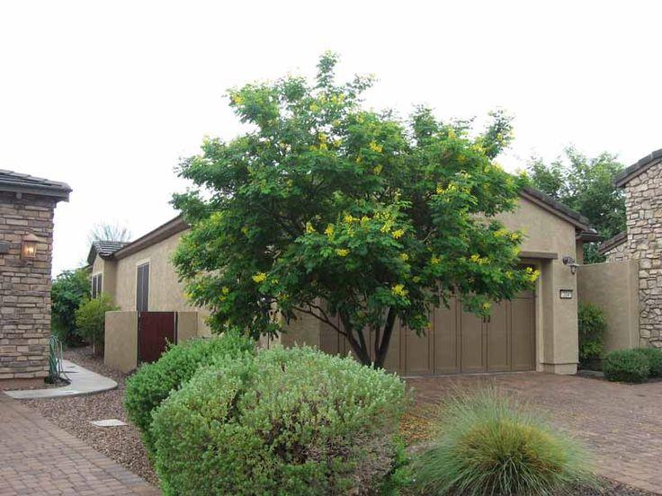 Evergreen Bird Of Paradise Tree Drought Tolerant Gardens