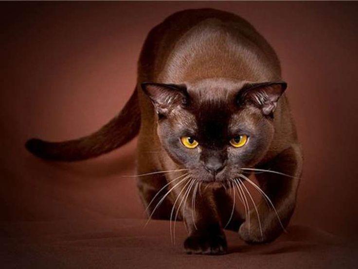 Razze di gatti rare e strane (Foto 3/40)   Ecoo