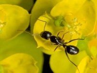 Flying Ants in the house,...how to identify,..causes of....what attracts?...how to get rid of...
