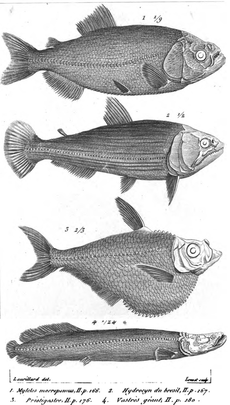Freshwater fish anatomy - Some New Species Of Fish In Le R Gne Animal Distribu D Apr S Son Organisation