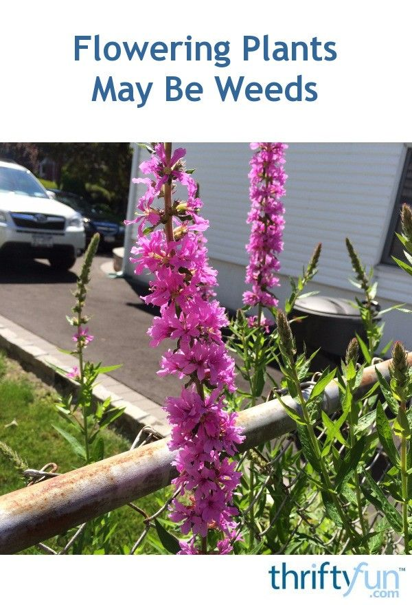 This plant with pretty purple flowers popped up in my garden this year, and I never planted it.  When I went to the garden center, I found out it is called purple loosestrife, and is very invasive.  The person I spoke to said to be very wary when things you didn't plant pop up in your garden!