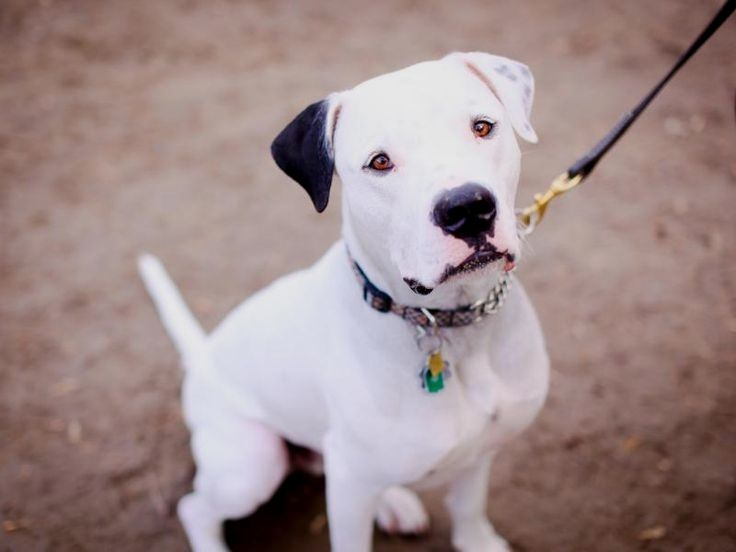 Pin By Pamela C Wilson On Dogo Argentino With Images Dogs