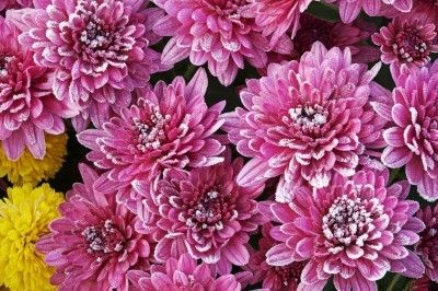 Overwintering Mums: How To Winterize Mums - Overwintering mums is possible. Because many people think that mums are finicky, many gardeners treat them as annuals. This doesn't have to be the case. Read here to learn more about how to winterize mums.