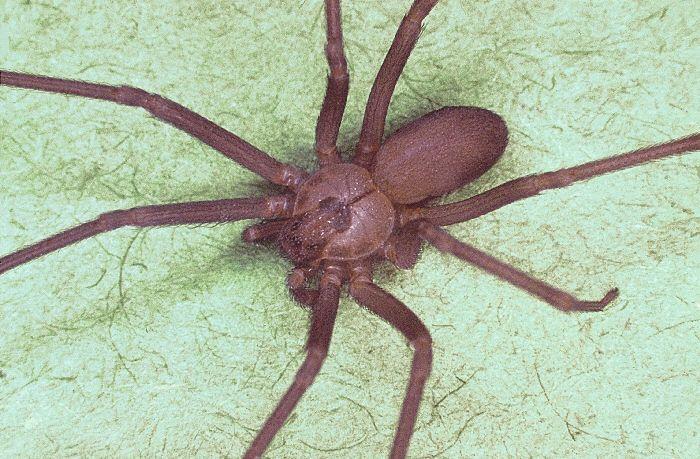 Cómo identificar a un araña reclusa parda | eHow en Español
