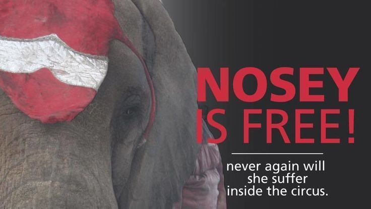 Friends,  This morning we are ecstatic to share the amazing news that a judge in Lawrence County, Alabama has ruled in Nosey's favor. She will remain in sanctuary and never again need to know the pain and suffering of circus life!  While we expect the Liebels will appeal this decision, they face numerous and ongoing legal actions and challenges, so we are confident that this ruling will result in Nosey's forever freedom.  This is a monumental achievement, and we thank each and every o...