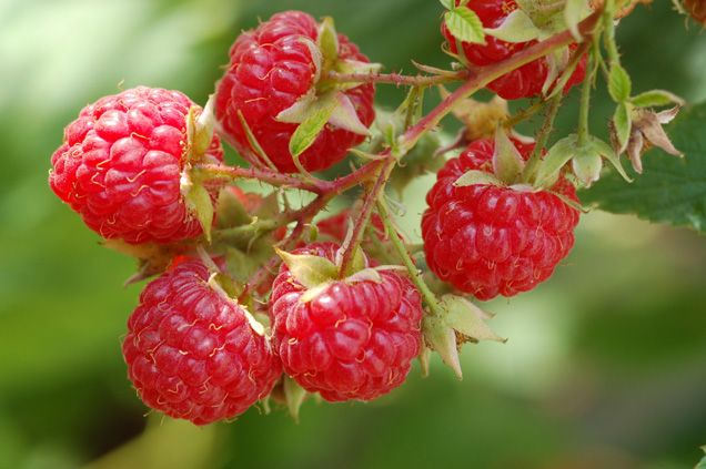 Bunches of raspberry bushes.