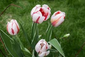 CANADA'S 150th birthday Tulip