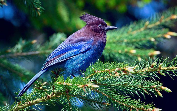青い羽の鳥、トウヒ、枝、森林 壁紙 - 1920x1200