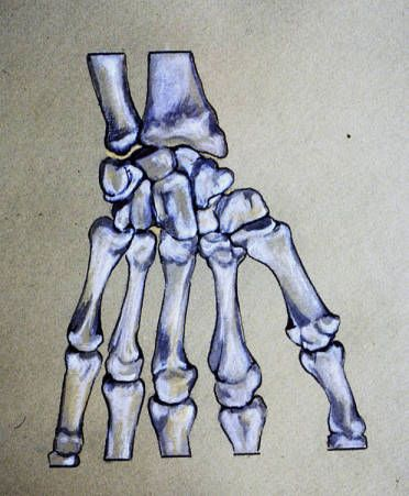 Illustration of articulated radius, ulna, carpals and digital bones of left wrist and hand, palmar aspect :: Orthopaedic Surgical Anatomy Teaching Collection