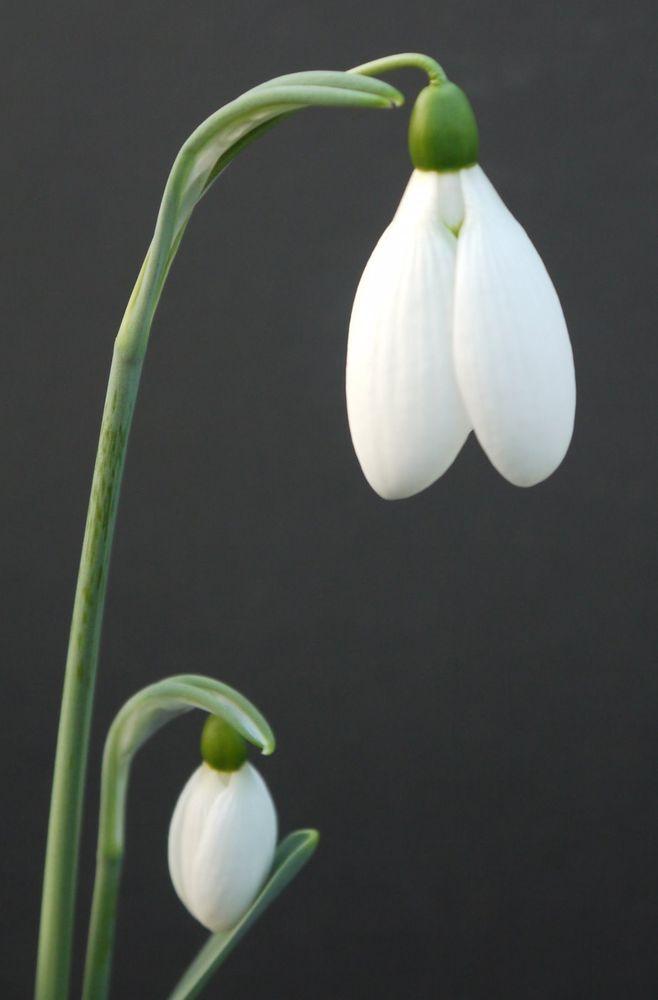 Galanthus  Rodmarton Regulus  a Collectors Snowdrop