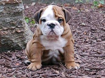bulldog baby