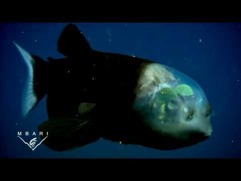 Video of Macropinna microstoma (barreleye fish): A deep-sea fish with a transparent head and tubular eyes.  Video taken by unmanned, undersea robots called remotely operated vehicles (ROVs) to study barreleye fish in the deep waters just offshore of Central California. At depths of 600 to 800 meters (2,000 to 2,600 feet) below the surface. Very Cool.