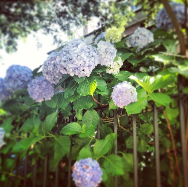Hydrangeas ornament wrought iron gates in Charleston