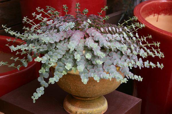 Sedum sieboldii, from my book, Succulent Container Gardens
