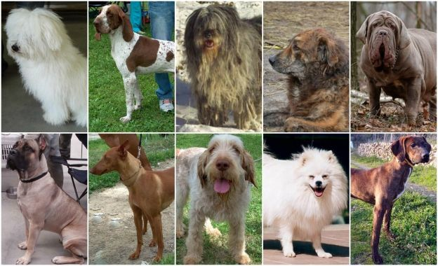 Top Ten Italian Dog Breeds | ITALY Magazine