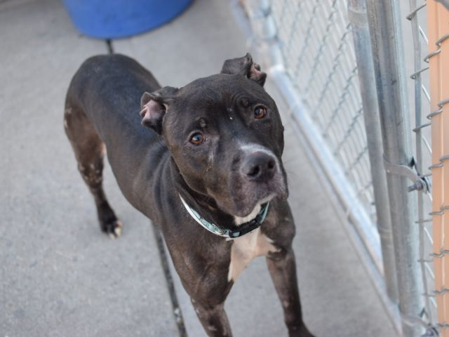 """Update: SAFE! Neko is out of time at NYC ACC and needs to be reserved by noon 4/45. """"He'll crawl into my lap, gently push his head against me to solicit more petting and likes to play fetch. He is very easy to handle on leash and tries to keep his cage clean as long as he can. He was surrendered to us because his family was unable to treat his skin condition, but they left wonderful information about him."""" Good with kids, small and large dogs. Neko needs a special diet for allergies."""