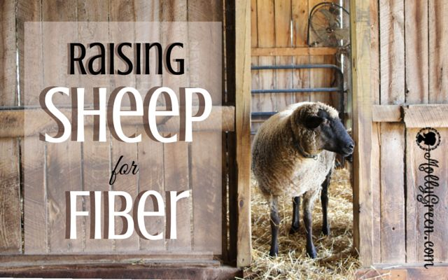 Raising Sheep for Fiber by Sherri Lyons. Considering raising sheep for their fiber? Continue reading to find out more about the different breeds and what grade of wool you  might need if choose to raise sheep for fiber. http://mollygreen.com/blog/raising-sheep-for-fiber/