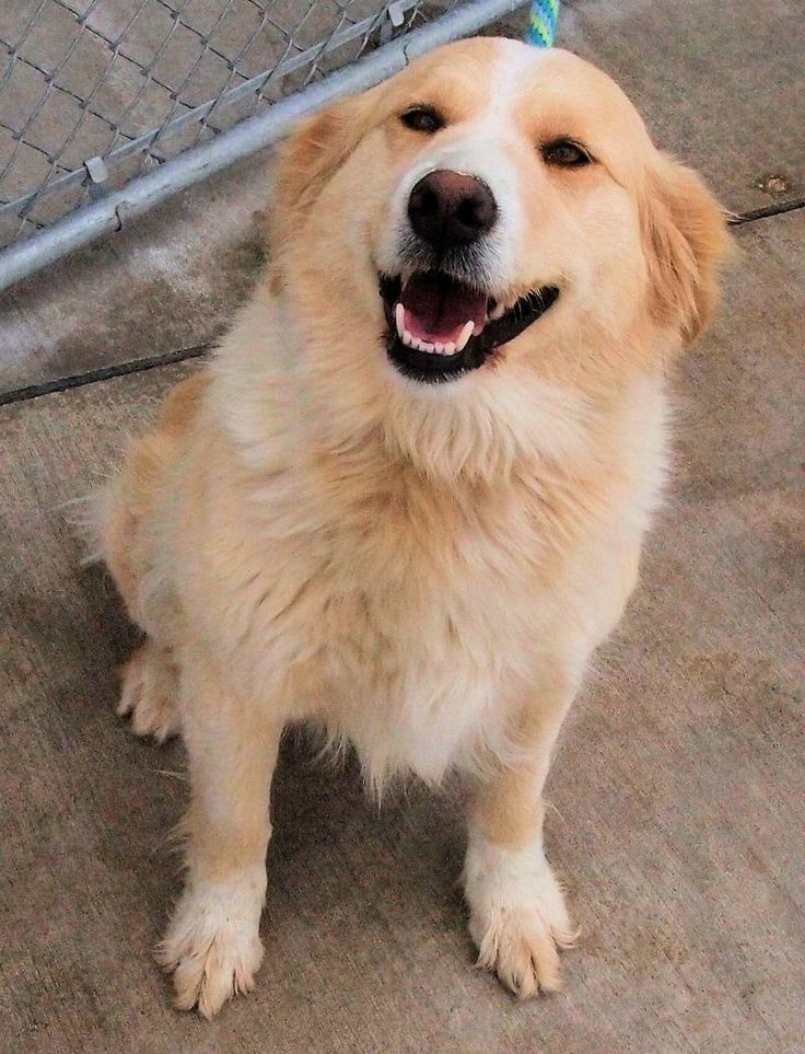 Meet Camille a Petfinder adoptable Golden Retriever Dog | Saint Louis, MO | Camille is currently at our shelter.  She is a very happy critter.  She rode well to the hospital. ...