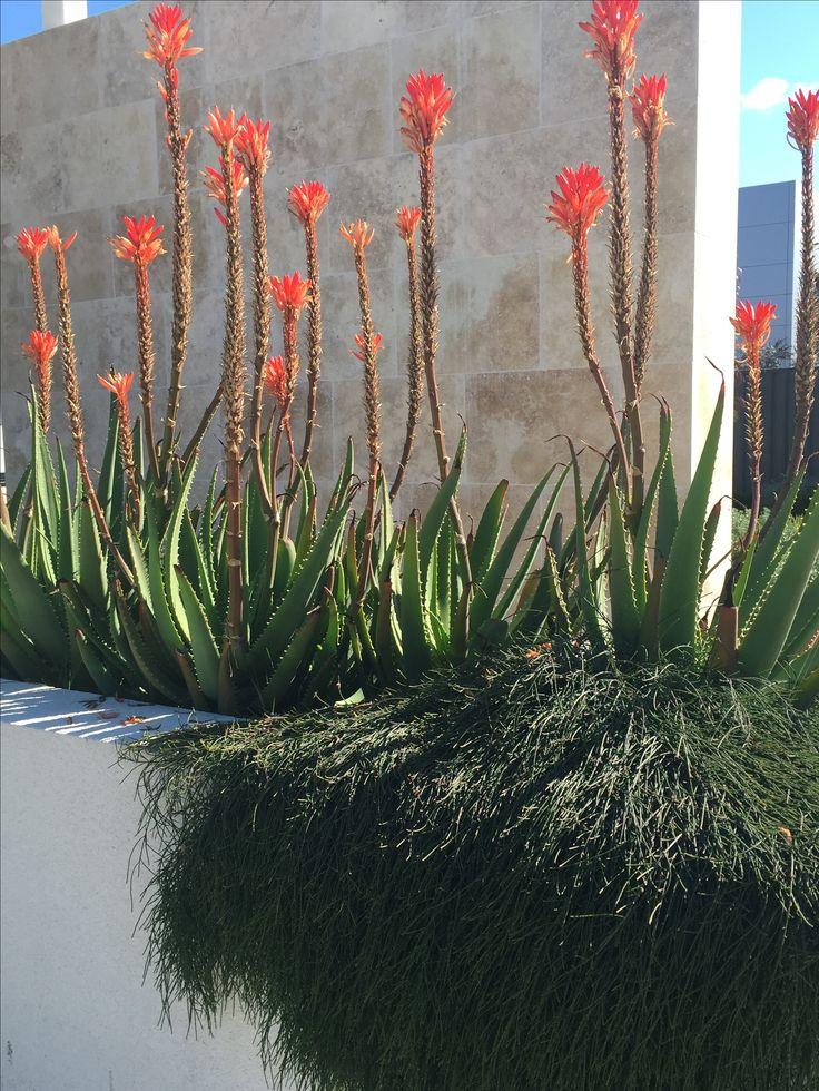 Raised planter box with Aloe & casuarina. www.rpgardendesign.com.au