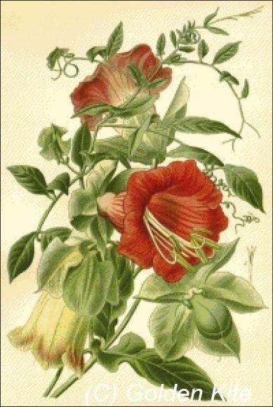 Cobaea scandens - Solid colors