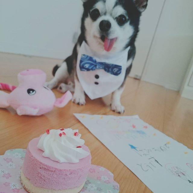 3.16🎉 あんこ8歳のお誕生日でした🎊  ケーキとプレゼントのぶたさんと子どもたちからのめっせーじと🎁 ♡  #ベリーの豆乳ムース わんちゃん用 #誕生日 #ケーキ #8歳 🎂  #おうちカフェ #カフェ部 #ボブ #カフェ巡り #sweets #スイーツ#cake #おやつ #teatime #foodpic #instafoto #instadog #dogstagram #doglover #あんこ#かわいい#犬バカ部#chihuahua #チワワ #愛犬 #ブラックタン #スムチー #dog #犬 #mydogiscutest#3cpet