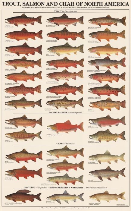 "Great salmon poster for an office, boys room, lake home or cabin. Find an ornate frame and its instantly ""fancy""."