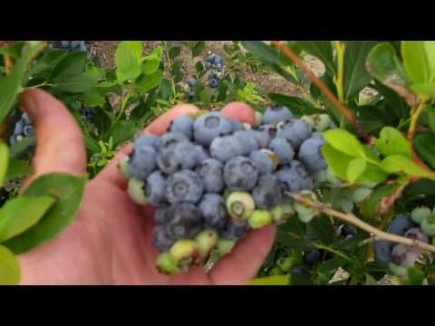 Non-GMO Organic Blueberries on DiMeo Blueberry Bushes - Organic Blueberry Plants for Sale