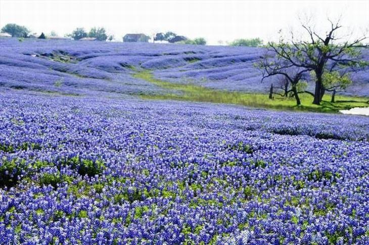 As flores Lupinus texensis são muito amadas no estado americano do qual vem seu nome - o Texas - e florescem apenas entre meados de março e meados de abril, dependendo da temperatura.
