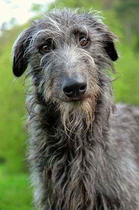 Scottish Deerhound #cute #dog