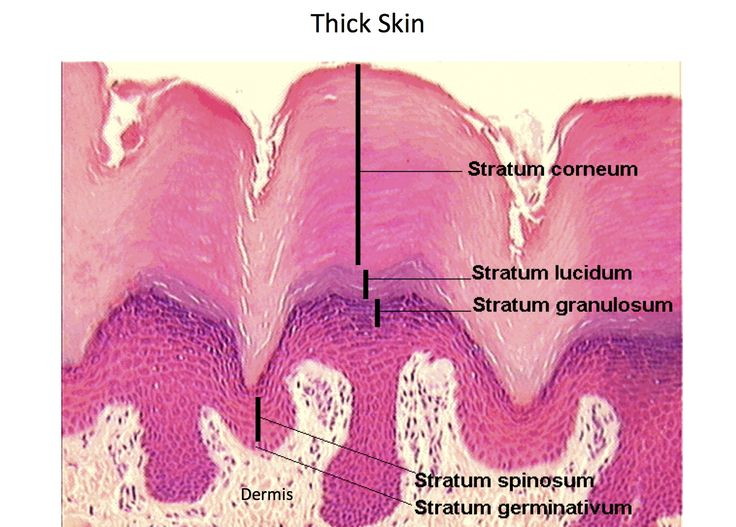 Thick Skin Epidermal Layers Histology Histology