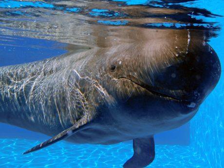 See Bubbles and Shadow, the only performing short-finned pilot whales in the world, in the Blue Horizons show at SeaWorld San Deigo.