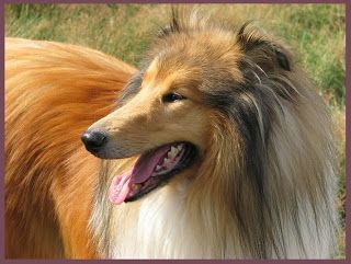 collie dogs wallpapers and pictures, cutest puppies ever in the world, pics of cute dogs, show me pictures of puppies, pictures of cute dogs.