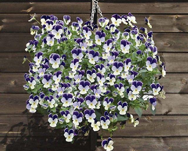 Best Flowers For Winter Hanging Baskets Uk : Best autum hanging basket ideas images on