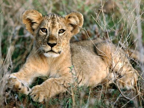 African Lion cub. Adorable!