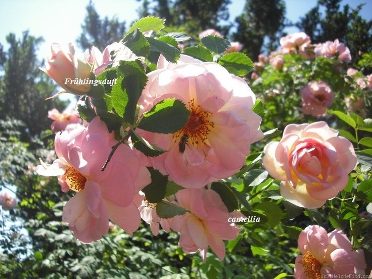 'Frühlingsduft ' Rose Photo