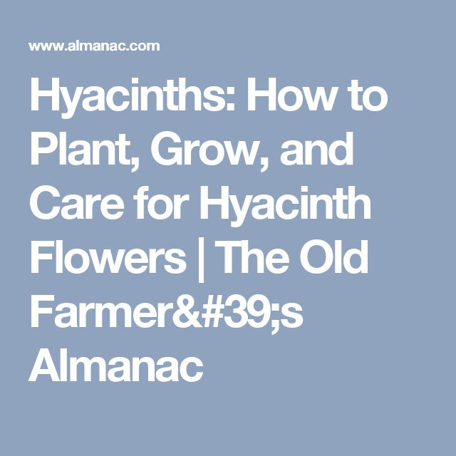 Hyacinths: How to Plant, Grow, and Care for Hyacinth Flowers | The Old Farmer's Almanac