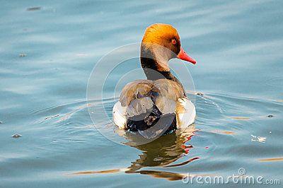 Male red crested pochard Netta rufina duck.