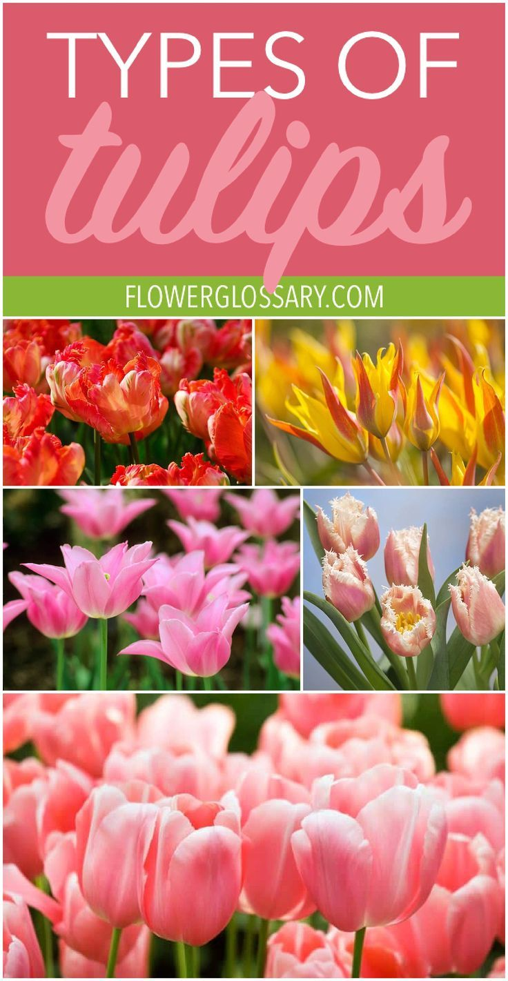 Tulips Are A Beautiful Spring Flower That Almost Everyone Has Heard Of But Did You Know There Were So Many Typ Types Of Tulips Easy To Grow Flowers Flower Care